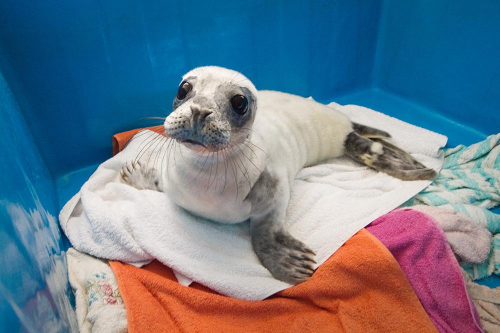 История спасения: как ищут, лечат и выпускают тюленей на Финском заливе