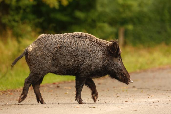 «Кабан уйдет первым»: откудавПетербурге взялись дикие животные и что им нужно
