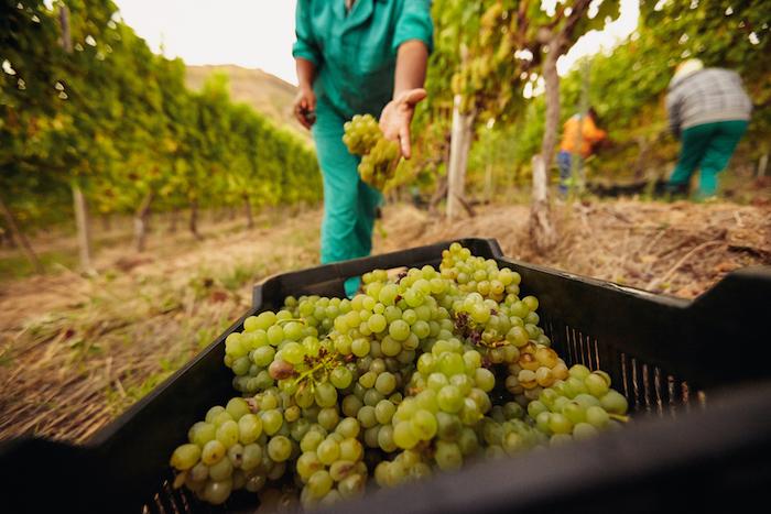 История отечественного виноделия: отАнтичности до 2010-х
