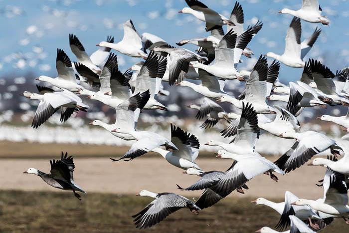 «Плавни для птиц — это как город длячеловека»: почему петербургский порт встал на пути перелетных птиц