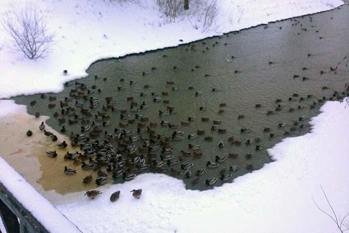 Куда деваются утки в Петербурге, когда замерзают реки?