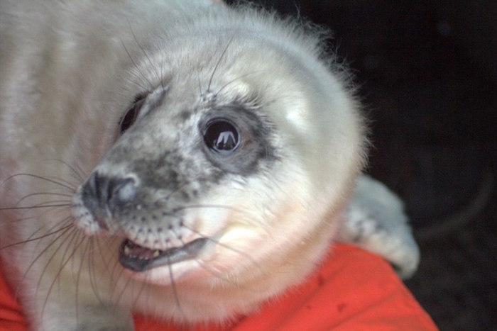 Как петербуржцы спасают тюленей и нерп: четыре истории и фото маленьких ластоногих
