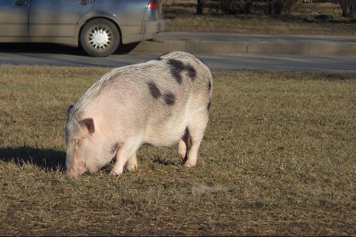 «Свиньи — настоящие компаньоны»: владельцы мини-пигов — о том, как жить в городе с 80-килограммовым питомцем