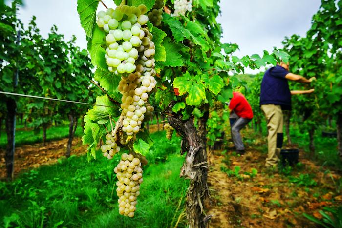 Из какого сорта винограда делают шампанское