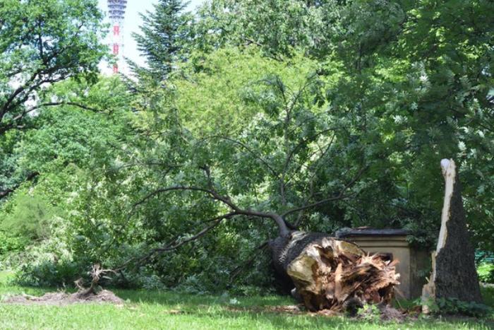 Сильный ветер повалил столетний ясень в Ботаническом саду