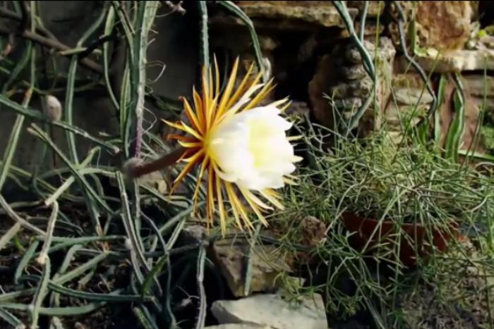 В Ботаническом саду к выходным ожидают цветения «Царицы ночи»