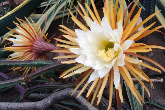 Ботанический сад будет работать допоздна из-за цветения родственницы «Царицы ночи»