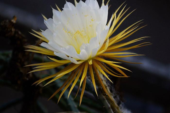 Ботанический сад продлит работу из-за цветения 14 бутонов «Царицы ночи»
