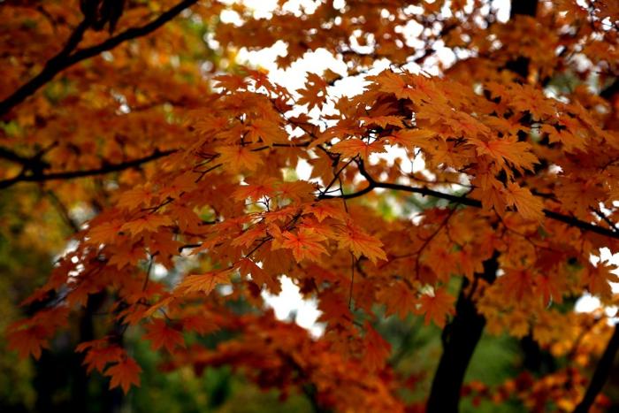 На празднике клена в Ботаническом саду проведут дегустацию блюд японской кухни и научат игре го