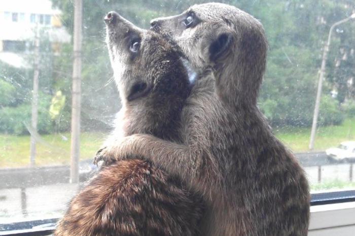 Рысь Симба, лама Фред и сурикат Джек Воробей: как петербуржцы живут с экзотическими животными