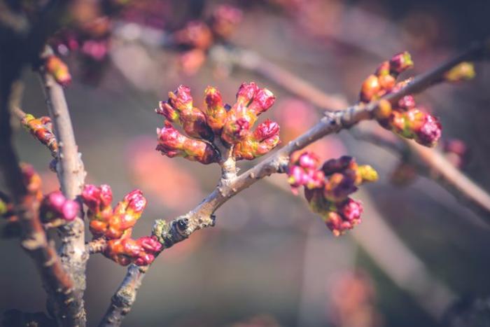 У сакуры в Ботаническом саду созрели бутоны