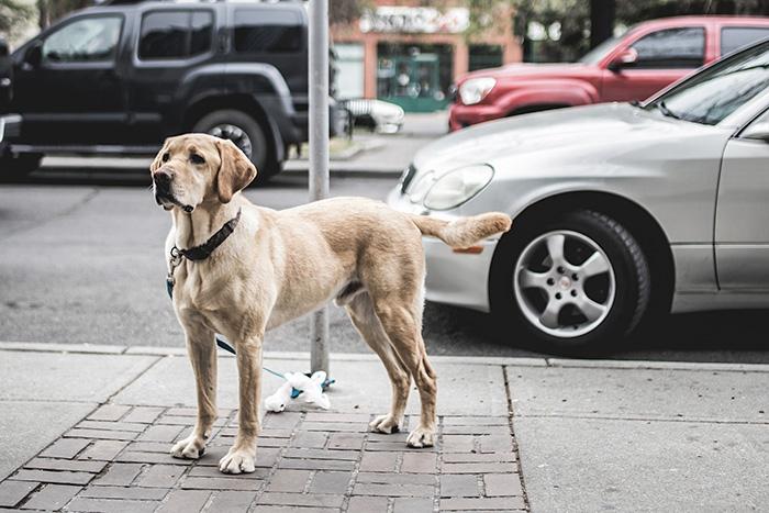 Как защитить домашнего питомца на прогулке и что делать, если его сбила машина или покусали собаки?