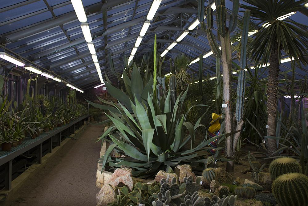 В Ботаническом саду впервые за 43 года начала распускаться огромная агава — сразу после цветения она умрет. Вот история петербургского растения
