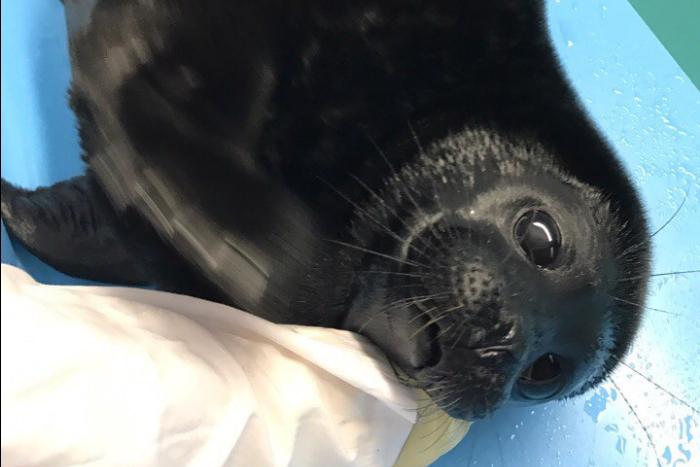 У тюленя Крошика закончилась весенняя линька. Его шерсть снова стала черной