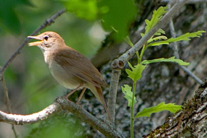 Как петербуржец придумал приложение, которое с помощью нейронных сетей распознает пение соловья, дрозда и других птиц