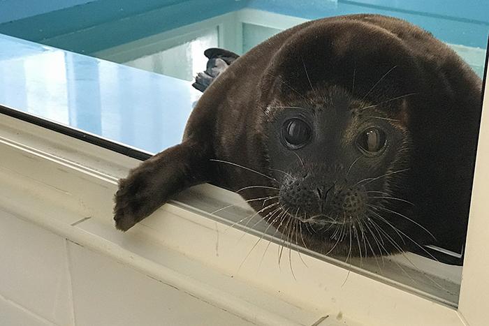 Петербургский тюлень Крошик два года живет с людьми — он категорически отказался возвращаться на волю и ведет себя как домашний питомец. Вот его история