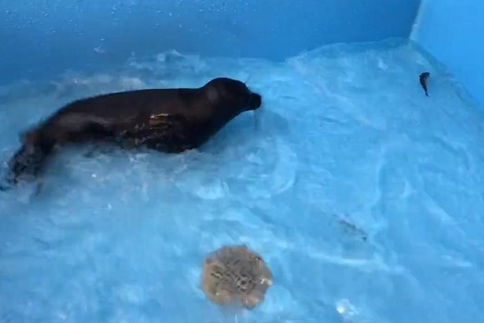 Нерпенок Вовчик учится ловить рыбу в центре реабилитации. Месяц назад его спасли зоозащитники