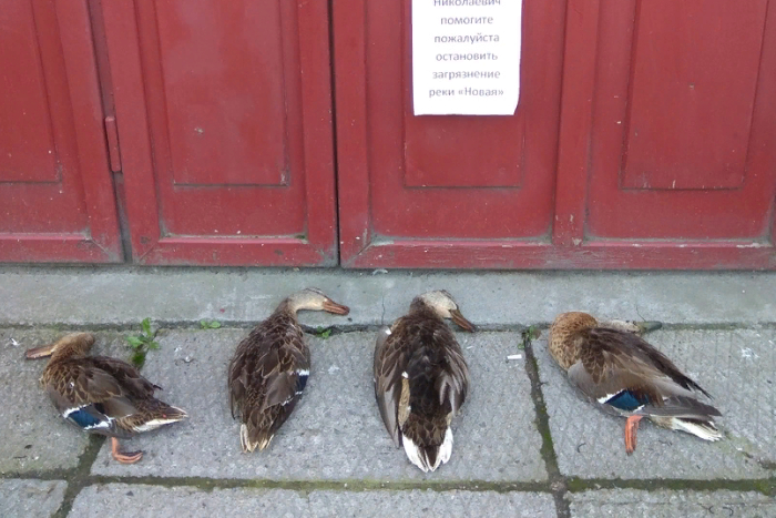 У приемной петербургского депутата положили тела мертвых уток. Это акция из-за загрязнения реки Новой, где массово умерли птицы