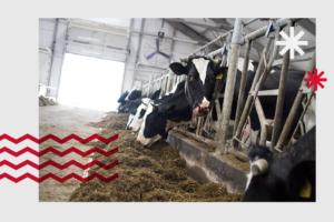 Представьте: у вас ферма, строители сорвали сроки и коровы зимуют на улице. В такой ситуации однажды оказалась компания «Лосево» — и вот чему это их научило