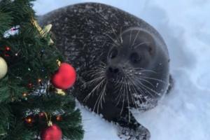 Посмотрите, что делали тюлени в Петербурге последний год: Крошик валялся в снегу, Вовчик кусался, а нерпы в Неве искали корюшку
