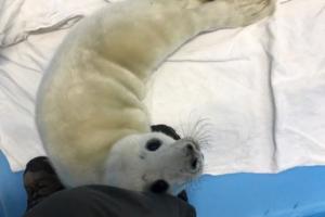 «Фонд друзей балтийской нерпы» показал видео со спасенным в Ленобласти тюлененком. Он лижет лапы и громко просит еду