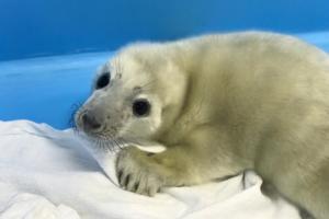 Житель Ленобласти помог спасти потерявшегося тюлененка