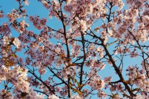 В Петербурге — настоящая весна. Посмотрите на цветение сакуры, одуванчиков и черемухи 🌼
