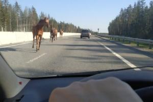 В Ленобласти на Приозерском шоссе заметили четырех лошадей