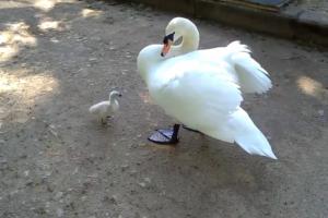 В Гатчинском парке бродячий пес убил белую лебедь, которая ожидала потомство. Теперь детеныша воспитывает самец — гуляет с ним по берегу озера и катает на спине