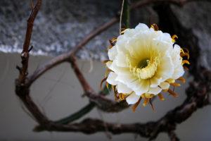 В Ботаническом саду каждый год цветет «Царица ночи» — на это приходят посмотреть сотни петербуржцев. Вот история городской традиции и растения, которое распускается на несколько часов