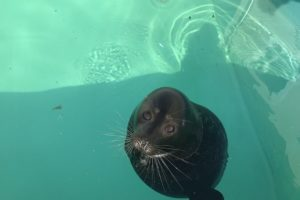 «Я обычный чел — с ластами, понятно. Но в жизни преуспел». О петербургском тюлене Крошике сочинили рэп! 🙈