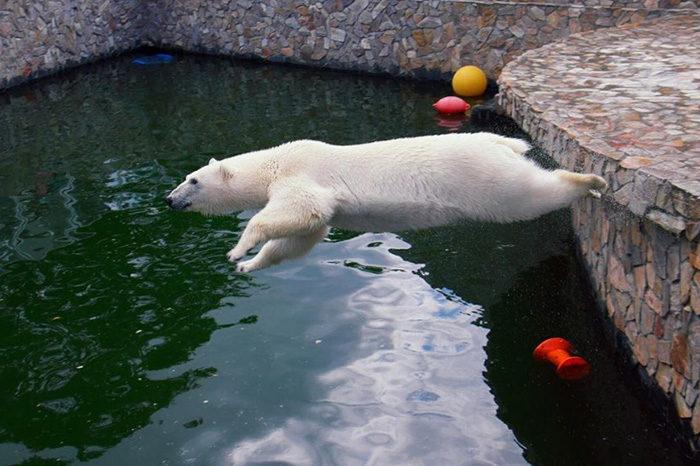В Ленинградском зоопарке живет беззаботная медведица Хаарчаана. Она постоянно играет с мячом и плещется в бассейне — за это ее любят посетители и сотрудники