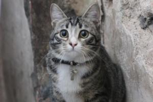Это Мартин Лютер Кот — серый кот, поселившийся в Анненкирхе. Он ходит по церкви в ошейнике с колокольчиком
