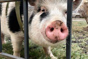 По центру Петербурга уже полгода гуляет мини-пиг Дуся. Ее хозяйка рассказывает о популярности свинки у прохожих, встрече с Оксимироном и характере своего питомца
