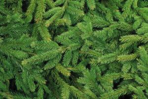 В Красногвардейском районе пройдет акция «Елки в щепки», на которой можно сдать новогодние деревья на переработку
