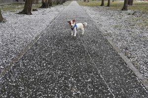«Где же ты зимой был, родной»: как в Петербурге в конце апреля прошел снегопад