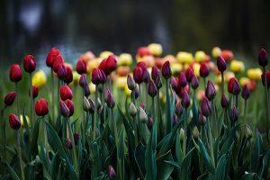 В парках Петербурга распустились тысячи цветов, но никто не приходит на них посмотреть. Вот фотографии тюльпанов, нарциссов и сирени 🌷