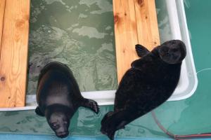 Зоозащитники выпустили на волю нерпят, которых нашли на льдине в центре Петербурга. Их прозвали братцами — за неразлучность