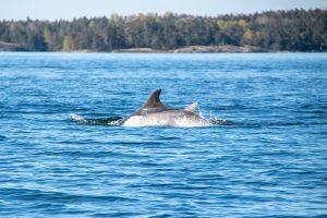 Под Петербургом заметили дельфинов 😱. Как они оказались в Финском заливе?
