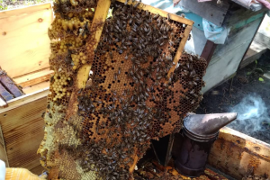 Пчеловод из Ленобласти ведет в TikTok блог о своей пасеке — ролики набирают миллионы просмотров. Он рассказывает о пчелах и снимает их под модную музыку