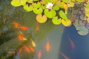 Как в Коломне появился секретный сад с розами и прудом с рыбками. За ним уже семь лет ухаживает местная жительница