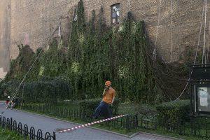 Как жители Петроградской стороны второй день поднимают виноград, сорванный со стены ветром. С альпинистами и краном