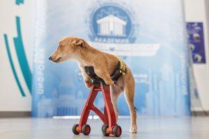 У щенка Томми нет передних лап, и петербургские школьники решили сделать ему коляску-протез. Как это было — рассказывают хозяйка пса, куратор проекта и семиклассница
