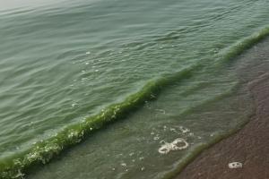 Петербургские ученые планируют отработать метод очистки водоемов от цианобактерий. Эти бактерии выделяют опасные для человека токсины