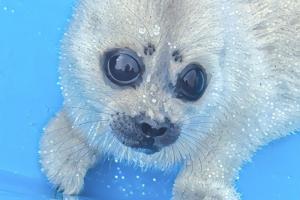 «Фонд друзей балтийской нерпы» будет продавать сувениры с тюленями — от пазлов до тарелок