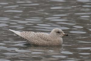 Под Петербургом заметили редкую для России полярную чайку. Обычно она гнездится в Канаде, Гренландии и Исландии