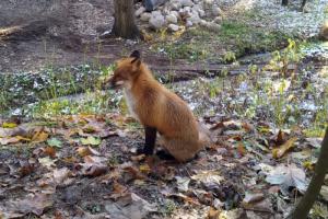 Петербуржцы сообщают о лисах на улицах. Они приходят в город из-за морозов и не опасны для людей, рассказали в Смольном