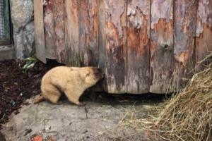 Сурки Ижорик и Августина из Ленинградского зоопарка проспали День сурка