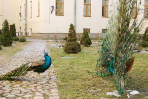 Во дворе Горного университета с начала 2000-х живут павлины. Птиц называют символом вуза, правда, иногда их крики мешают студентам 🙃