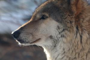 В Ленинградском зоопарке умерла волчица Тень, которая прожила там 14 лет